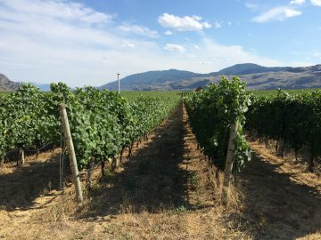 Vineyard at the Okanagan Valley